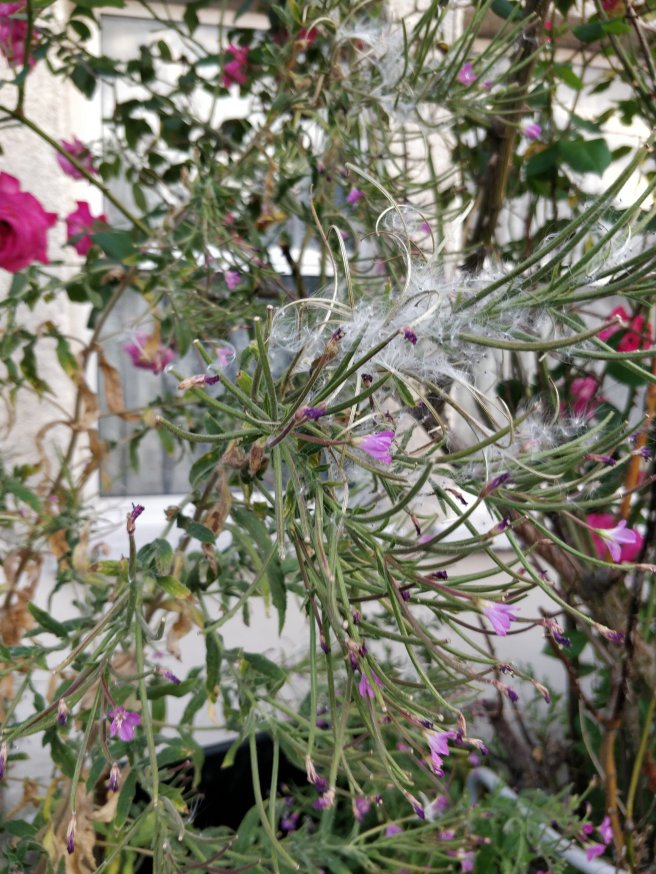 Another medium shot of plant with fuzzy white stuff and pink flowers