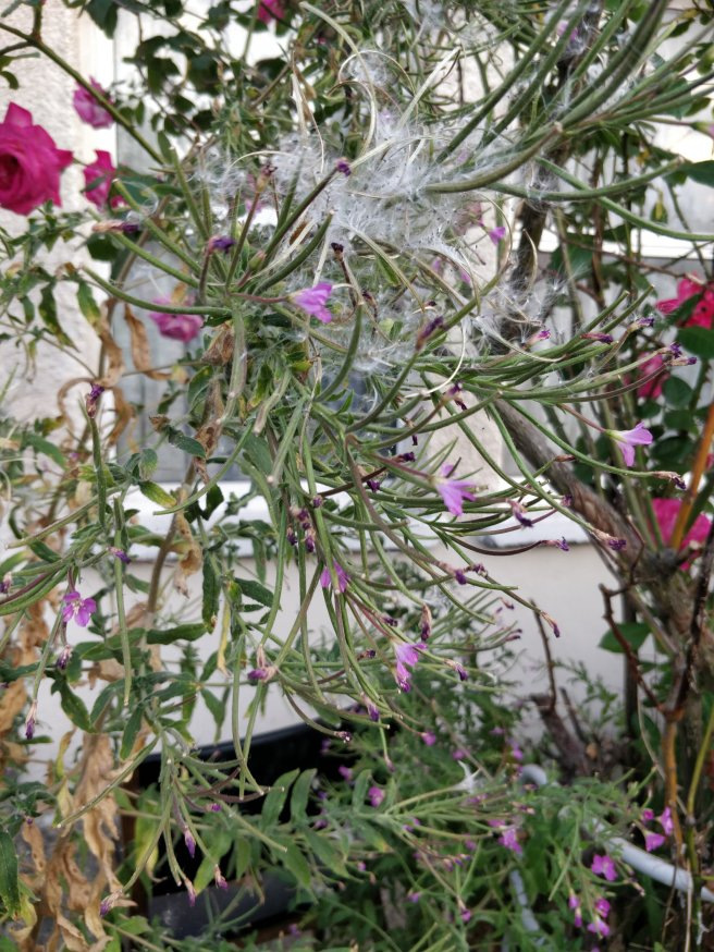 Medium shot of plant with fuzzy white stuff and pink flowers