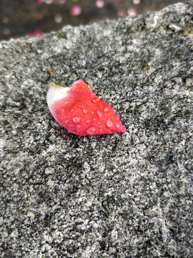 Red petal covered in raindrops on a rough stone surface